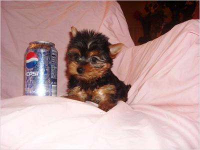 Lovely Yorkie Puppies  for Free Adoption.(alicepem@yahoo.com)