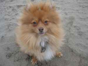 Pomeranian Dog Lost (La Crescenta)