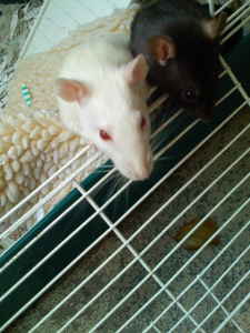 Two cute rats need a good home!