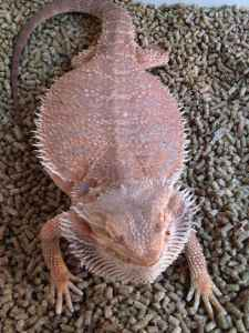 Bearded Dragons- Colorful, Bright, Bearded Dragon Babies-Cheap!!20$ (la/oc area)